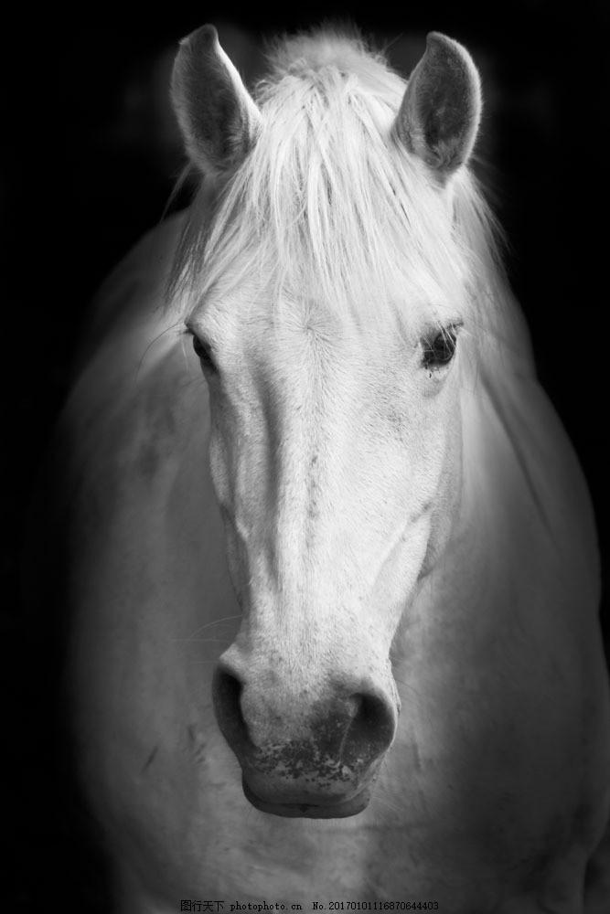 一匹白马 一匹白马图片素材 奔跑 飞奔 骏马 马匹 小马驹 动物