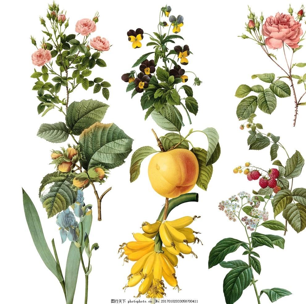 植物绘画 手绘 彩绘 植物手绘 植物彩绘 奥托植物画