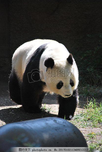 熊猫 动物园 自然 动物园里的动物 野生 熊 森林     黑色 jpg