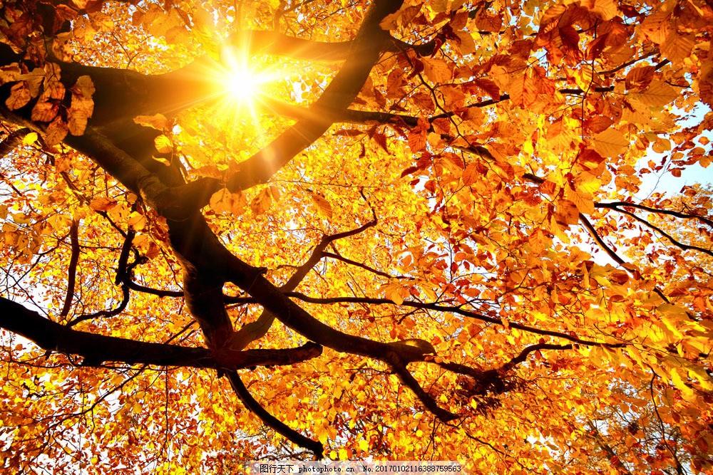 秋天枫树枫叶风景图片