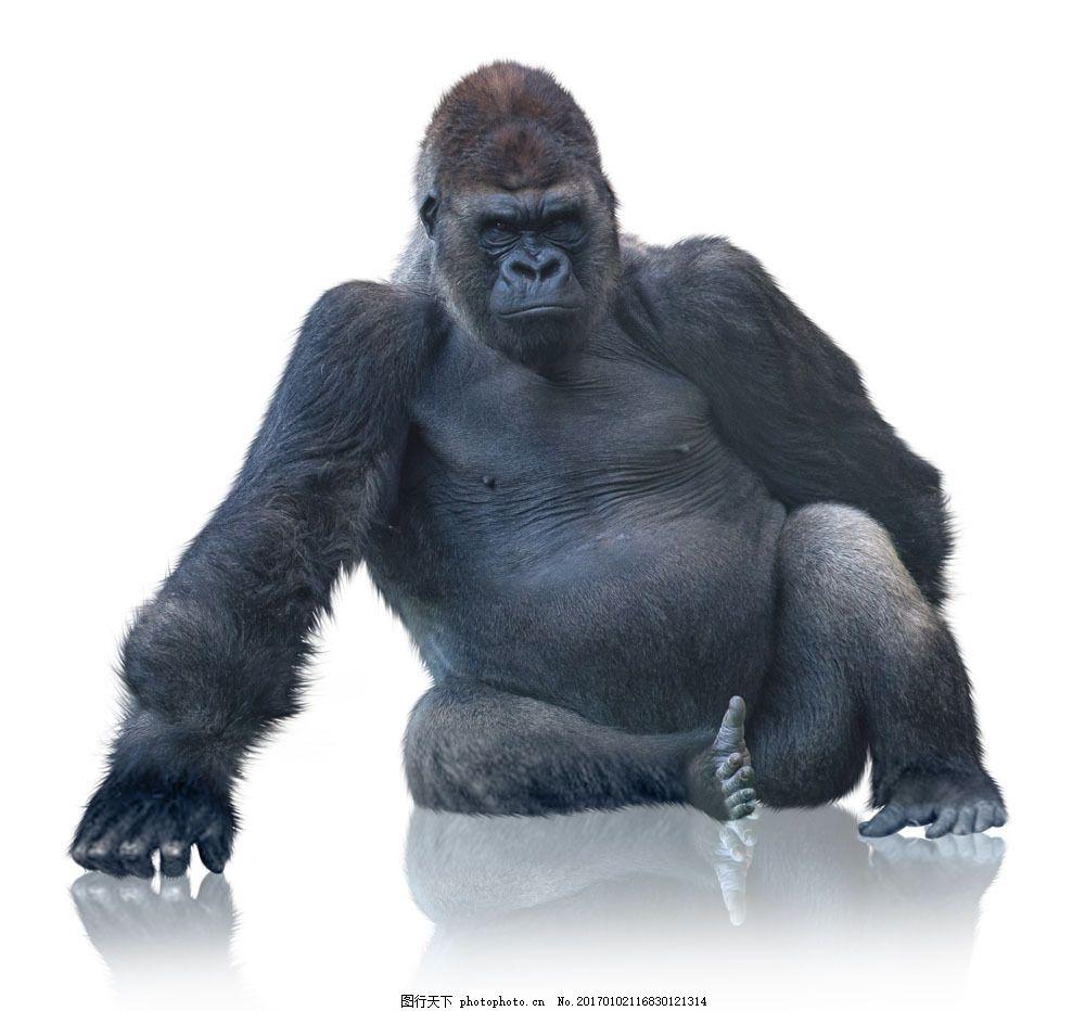 坐着的大猩猩 坐着的大猩猩图片素材 动物 动物世界 动物摄影 陆地