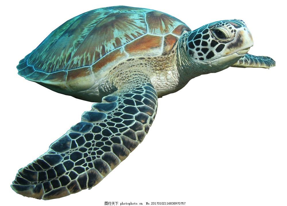 一只海龟 一只海龟图片素材 乌龟 水中生物 动物 野生动物 动物世界