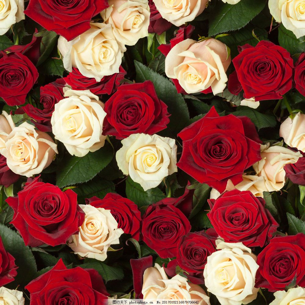 易画玫瑰花朵的图片_美丽的玫瑰花图片 _排行榜大全