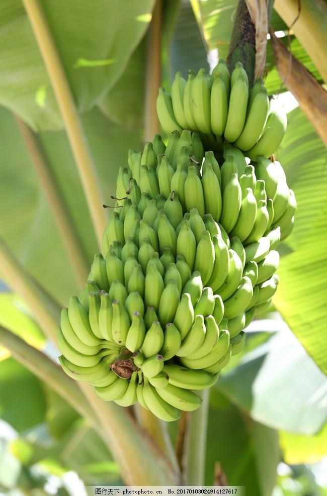 香蕉树 叶 食物 自然 背景 绿香蕉 生香蕉 水果树 新鲜香蕉