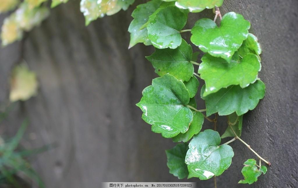 用藤条栽培盆景图片