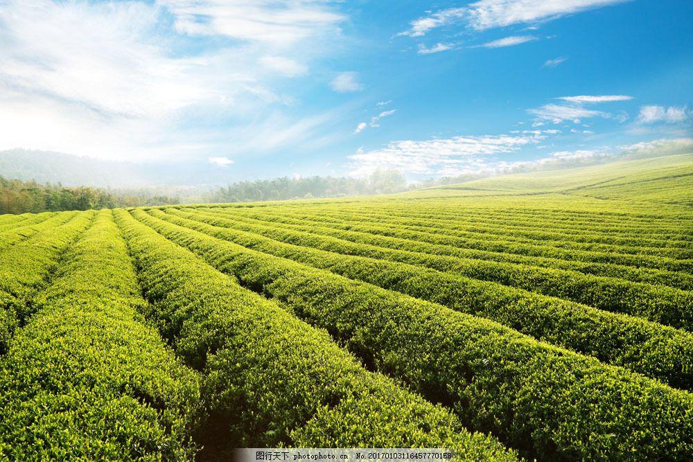 茶园蓝天白云图片素材 蓝天 白云 茶园 茶田 茶山 茶叶 绿茶 风景