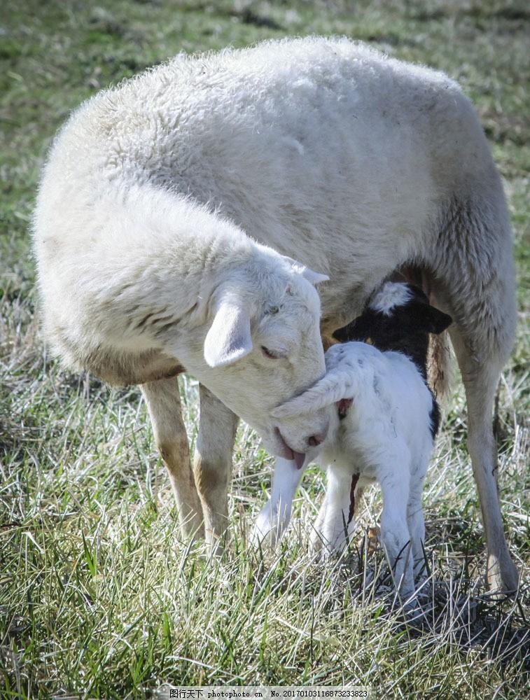 吃奶的小羊 吃奶的小羊图片素材 小羊羔 动物摄影 动物世界 陆地动物