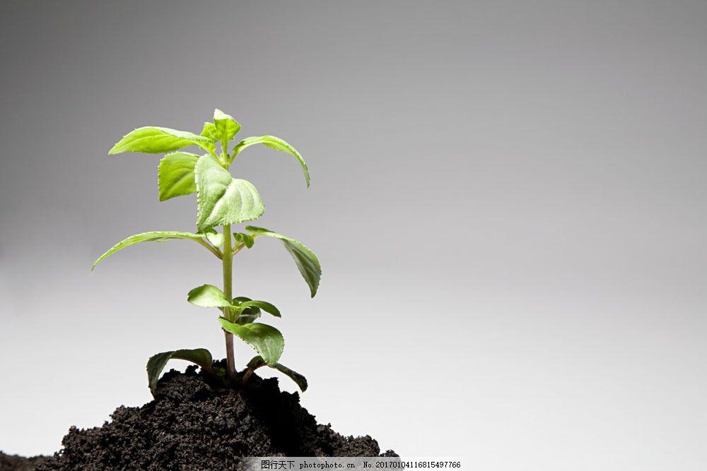 黑色土壤上生长的植物图片素材 土地 肥沃 土壤 土 一堆土 净土 黑色土壤 植物 绿植 小草 绿叶 一棵小草 坚强 茁壮 成长 生长 生命力 茂盛 理想 企业理念 图片 照片 摄影 图库 高清大图 高清图片 图片素材 花草树木 生物世界 图片素材