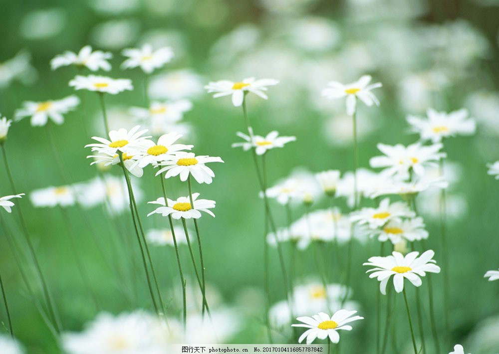 雏菊 鲜花 白色 花朵 绿色 清新 清爽 鲜花背景 背景素材 美丽风景