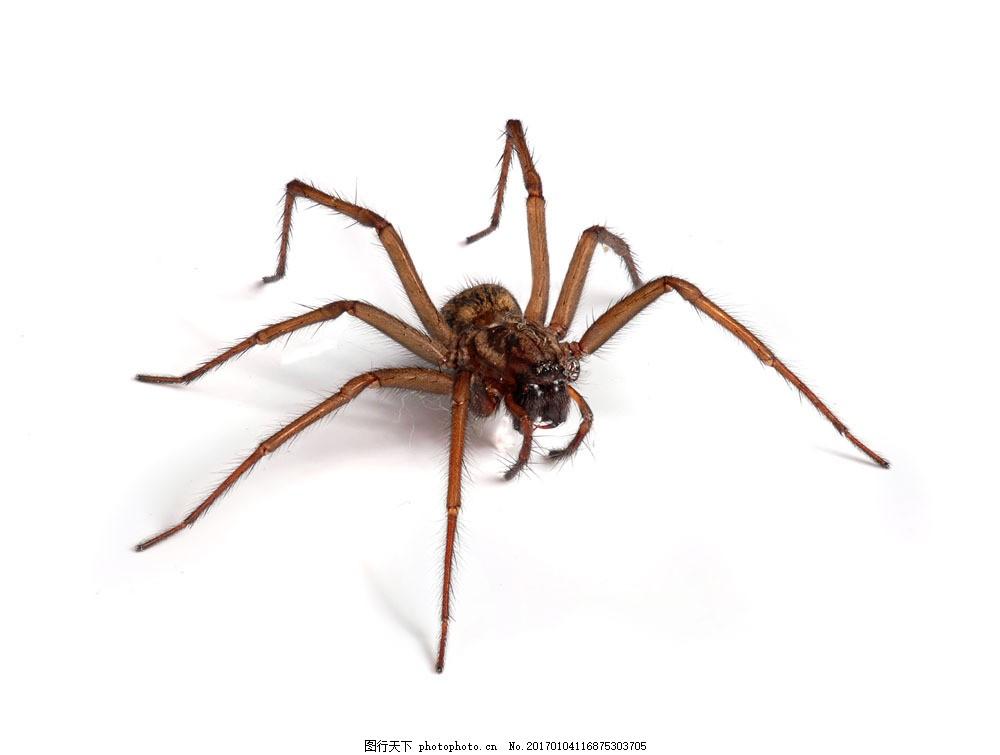 一只蜘蛛 一只蜘蛛图片素材 节肢动物 动物摄影 动物世界 动物昆虫
