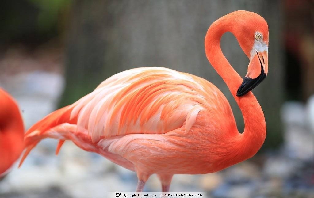 火烈鸟 动物 飞禽 红鸟 动物与植物 摄影