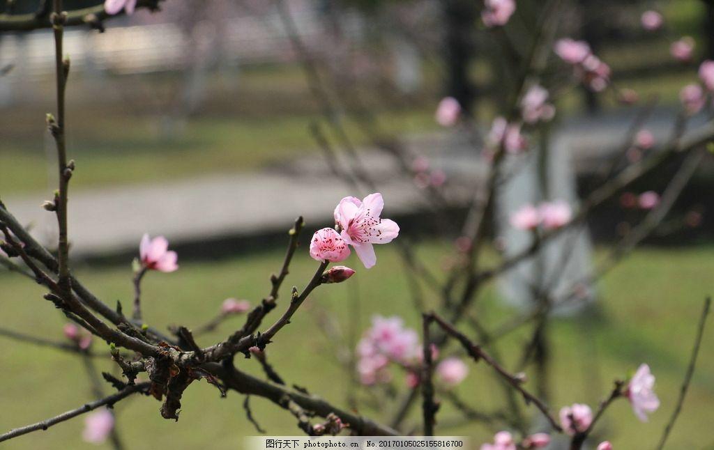 桃花 桃树 桃子 小清新 唯美 花朵 鲜花 摄影 生物世界 花草 72dpi jp