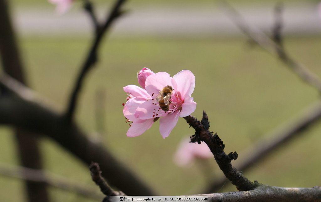 桃花 桃树 桃子 小清新 唯美 花朵 鲜花 摄影 生物世界 花草 72dpi
