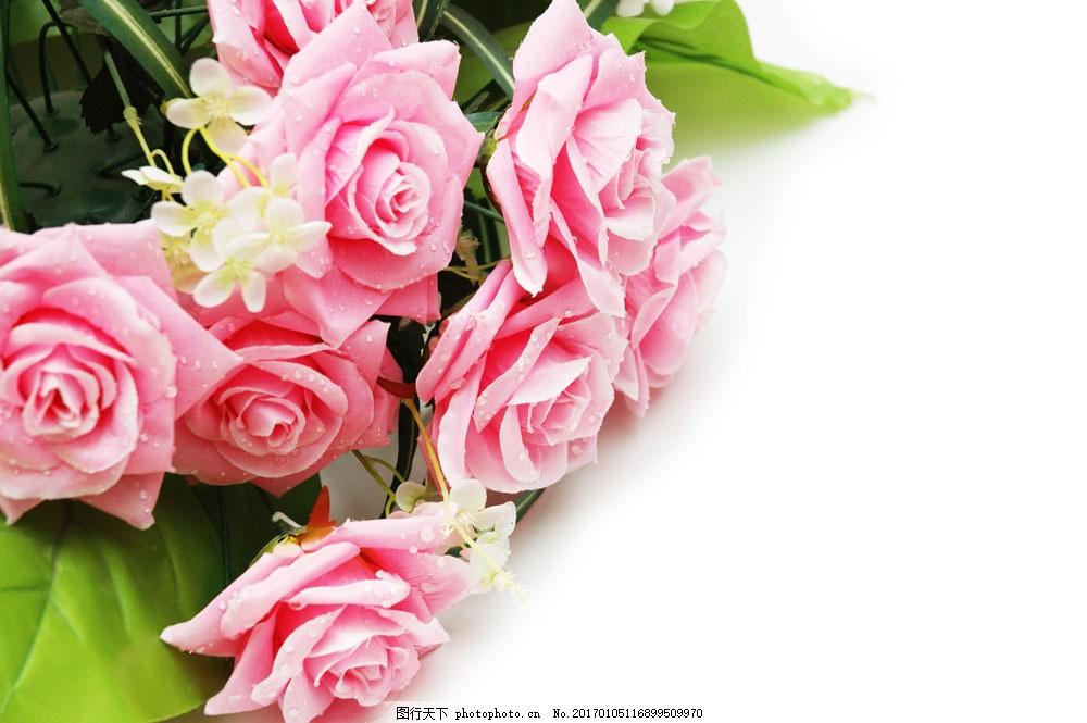 漂亮玫瑰花 漂亮玫瑰花图片素材 漂亮花朵 绿叶 娇艳 露珠 新鲜花卉图片