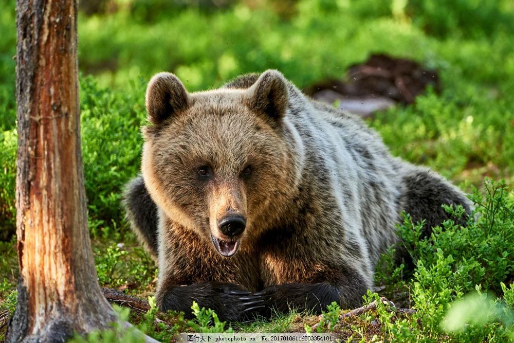 森林里的狗熊 森林里的狗熊图片素材 动物 陆地动物 野生动物 动物