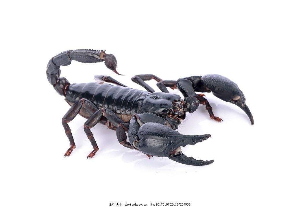 唯美 炫酷 蝎子 毒蝎 野生 沙漠蝎子 摄影 生物世界 野生动物 300dpi