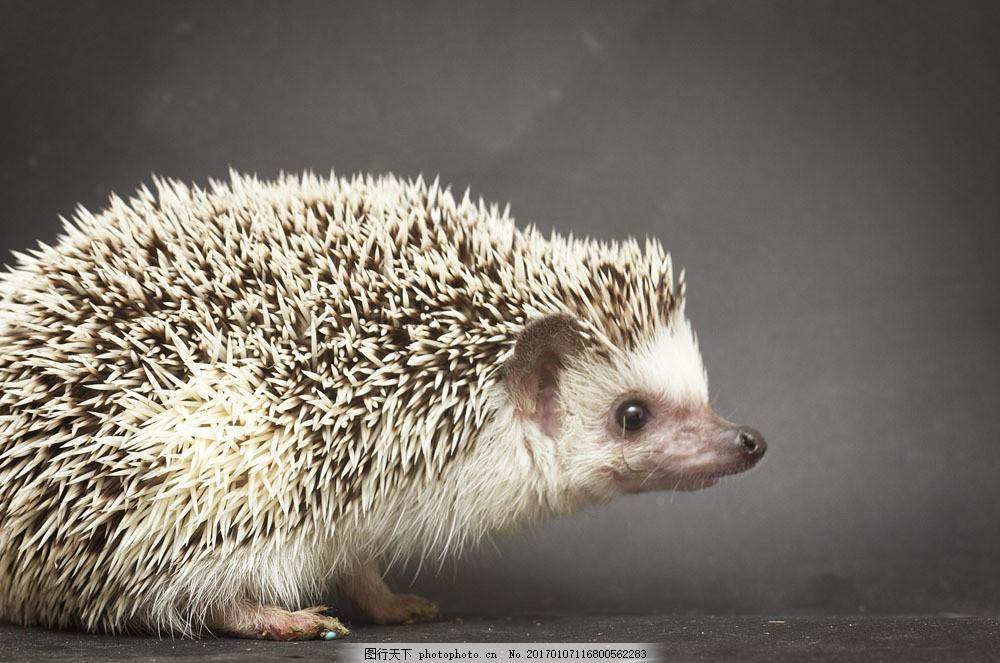 向右看的刺猬图片素材 刺猬 可爱动物 陆地动物 野生动物 动物世界