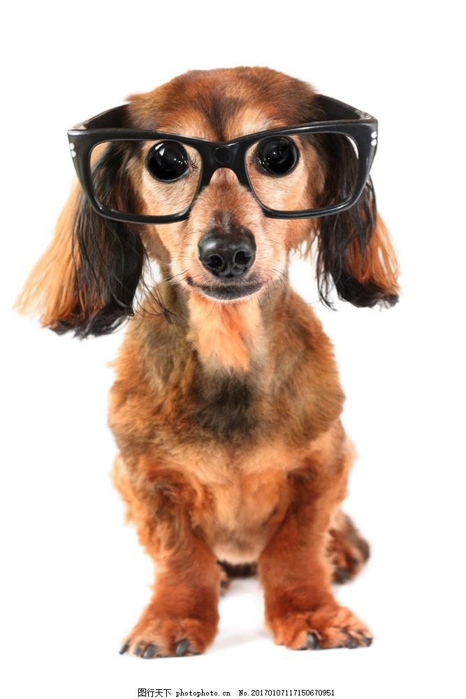 戴眼镜的宠物狗图片素材 戴眼镜的小狗 宠物狗 可爱小狗 动物世界