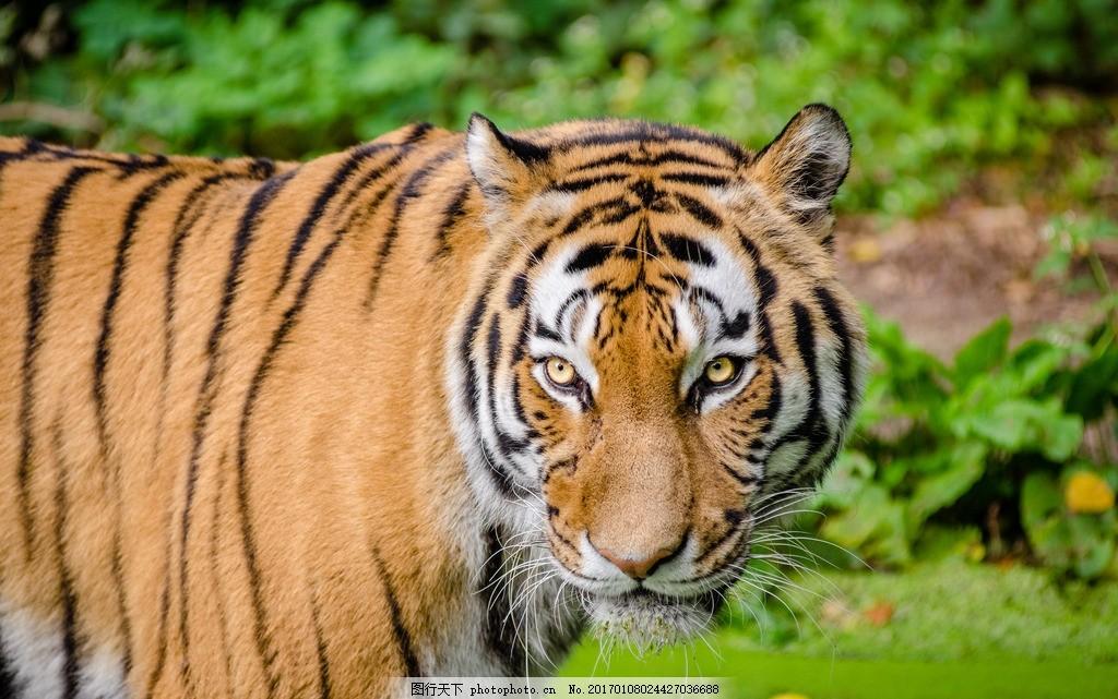 老虎 森林之王 动物 保护动物 大自然 凶猛的老虎 食肉动物 草地