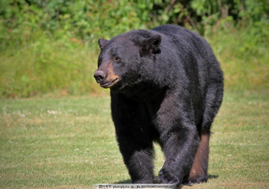 生物世界 野生动物  熊 黑熊 棕熊 狗熊 草园动物 野生动物园 动物 熊