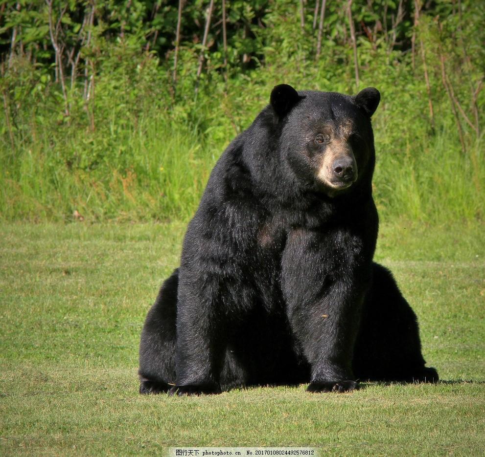 设计图库 生物世界 野生动物  熊 黑熊 棕熊 狗熊 草园动物 野生动物