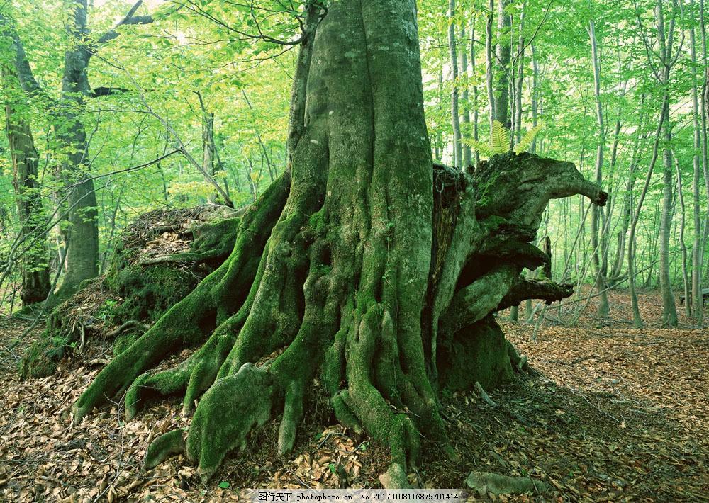 大树树根 大树树根图片素材 自然 风景 树林 森林 阳光 盘根错节