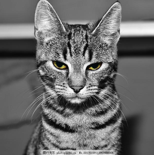 黑白相间的小猫 宠物 动物 小猫 猫脸 猫咪 黑白相间 发呆 瘦小