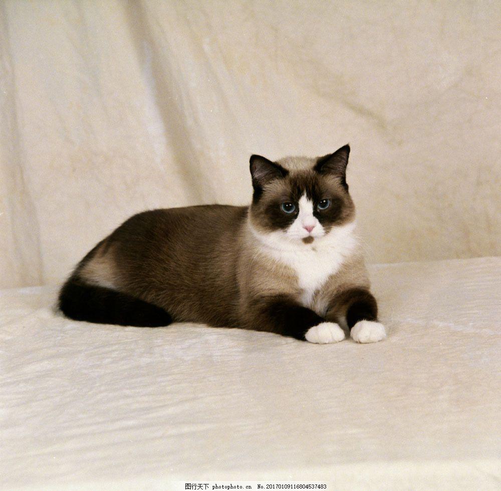 趴着的小猫图片素材 趴着 小猫 猫咪 动物 宠物 猫咪图片 生物世界