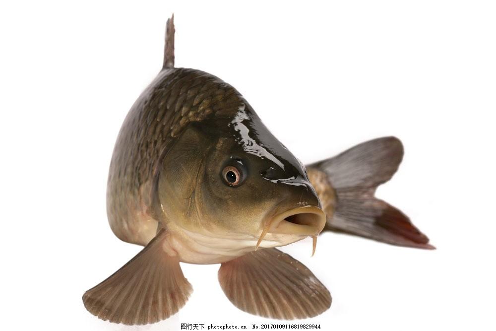 活鱼摄影 活鱼摄影图片素材 美食 水中生物 海鲜 野生动物 食材原料