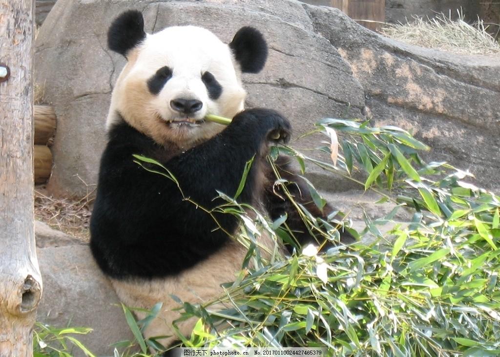 大熊猫 熊猫 国宝 动物 野生动物 动物园 功夫熊猫 摄影 素材 动物