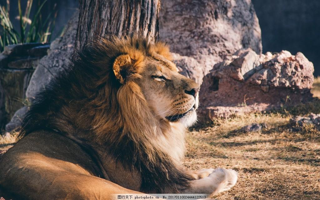 动物 大自然 食肉动物 保护动物 草地 卧着的狮子 摄影 摄影 生物世界