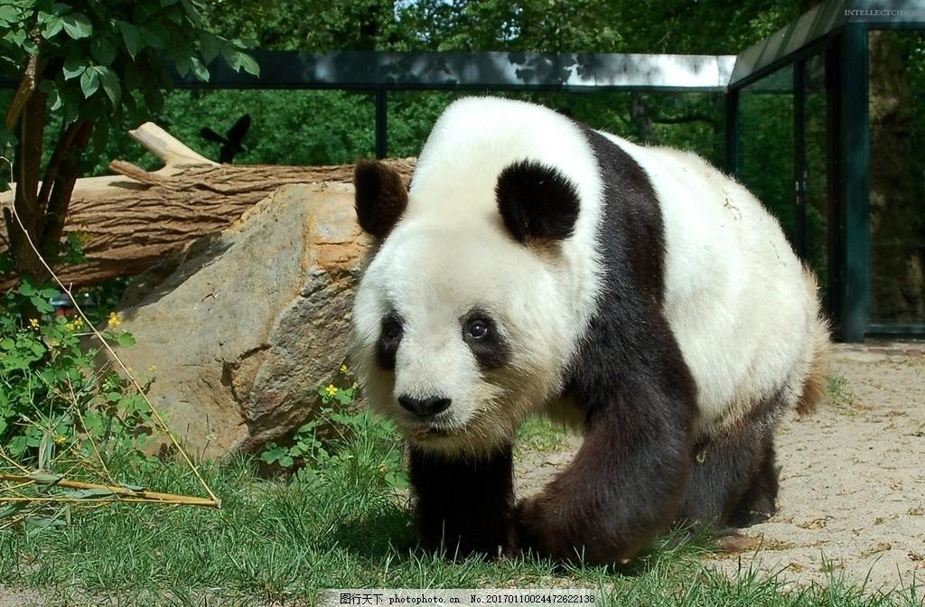 国宝熊猫,动物 黑白 功夫熊猫 动物园 摄影 动物飞鸟