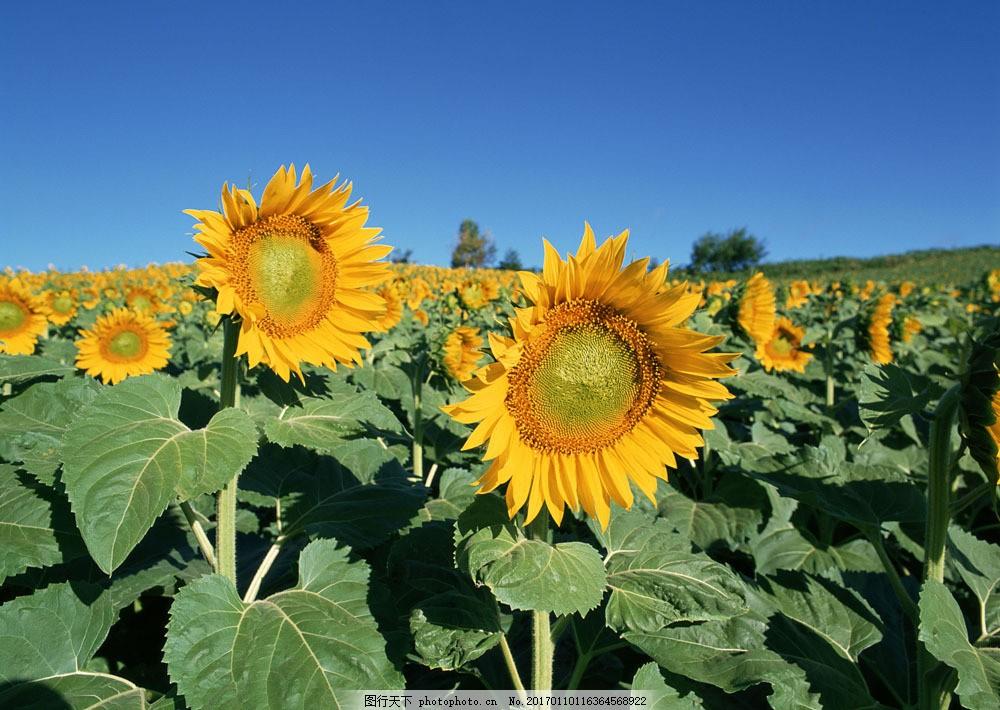 向日葵图片素材 自然 风景 户外 美境 鲜花 向日葵 向日葵园 山水风景