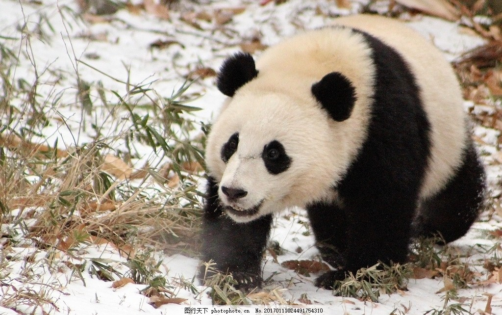 熊猫 国宝 宝物 珍贵 稀有 摄影 生物世界 摄影 生物世界 野生动物 72