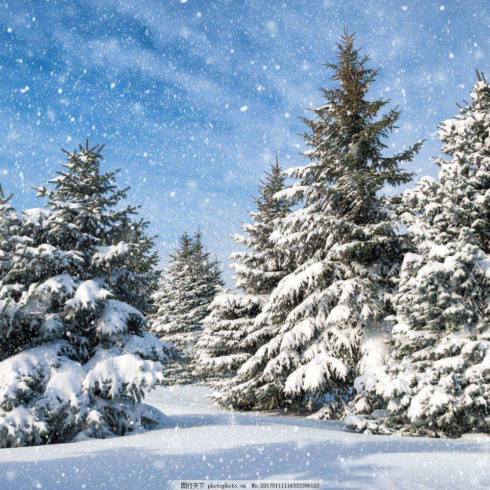 雪地上高耸的松树图片