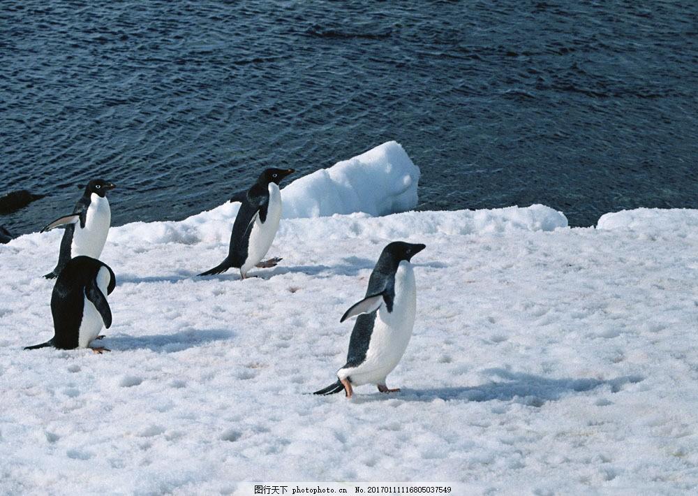 雪地上的企鹅 雪地上的企鹅图片素材 动物世界 生物世界 南极生物