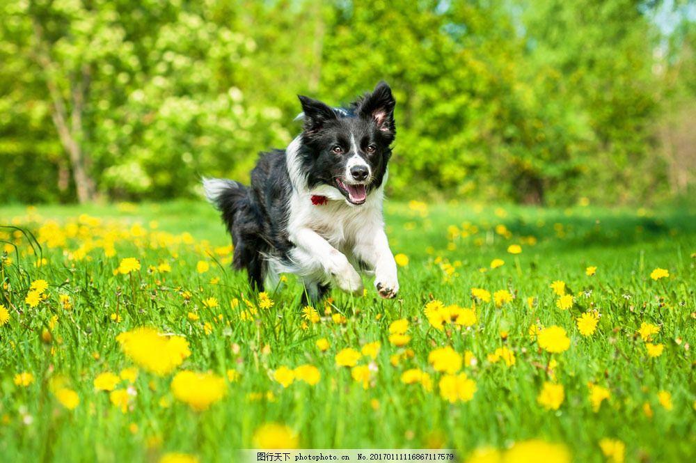 鲜花里奔跑的小狗图片