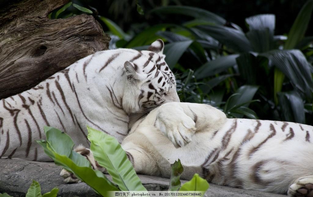 白虎 唯美 动物 可爱 野生 凶猛 老虎 摄影