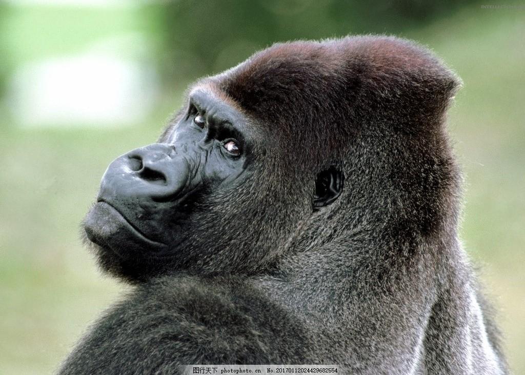 狒狒 大猩猩 灵长类 动物 野生动物 动物园 摄影 素材 动物飞鸟昆虫禽