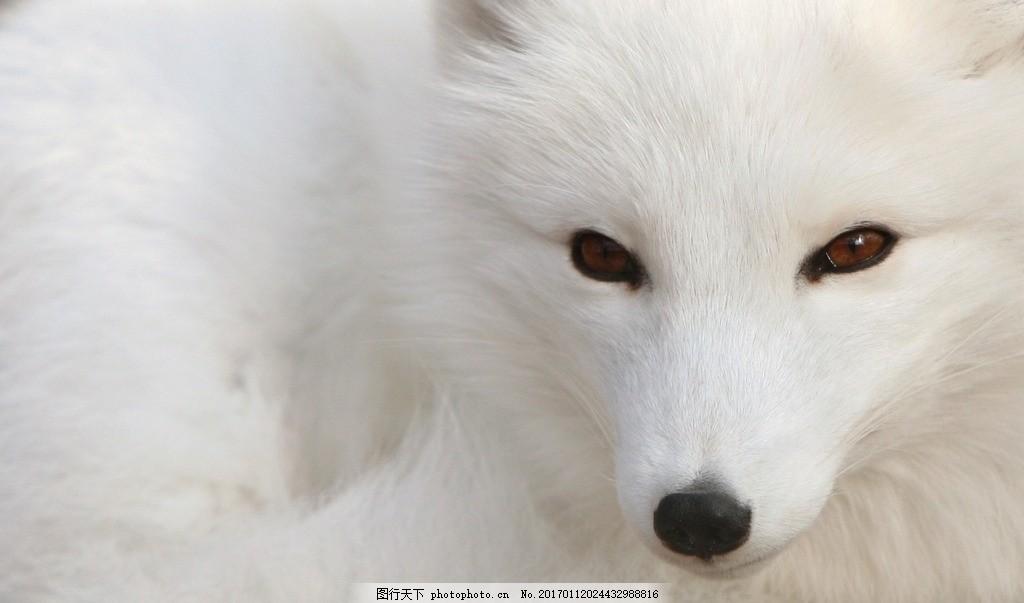 唯美白狐 白狐狸 狐狸背景 动物 白色狐狸 摄影