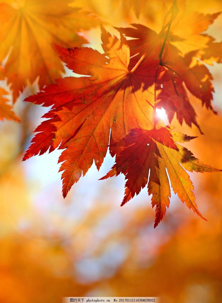 梦幻光斑红叶风景 梦幻光斑红叶风景图片素材 美丽枫树林 秋天枫叶