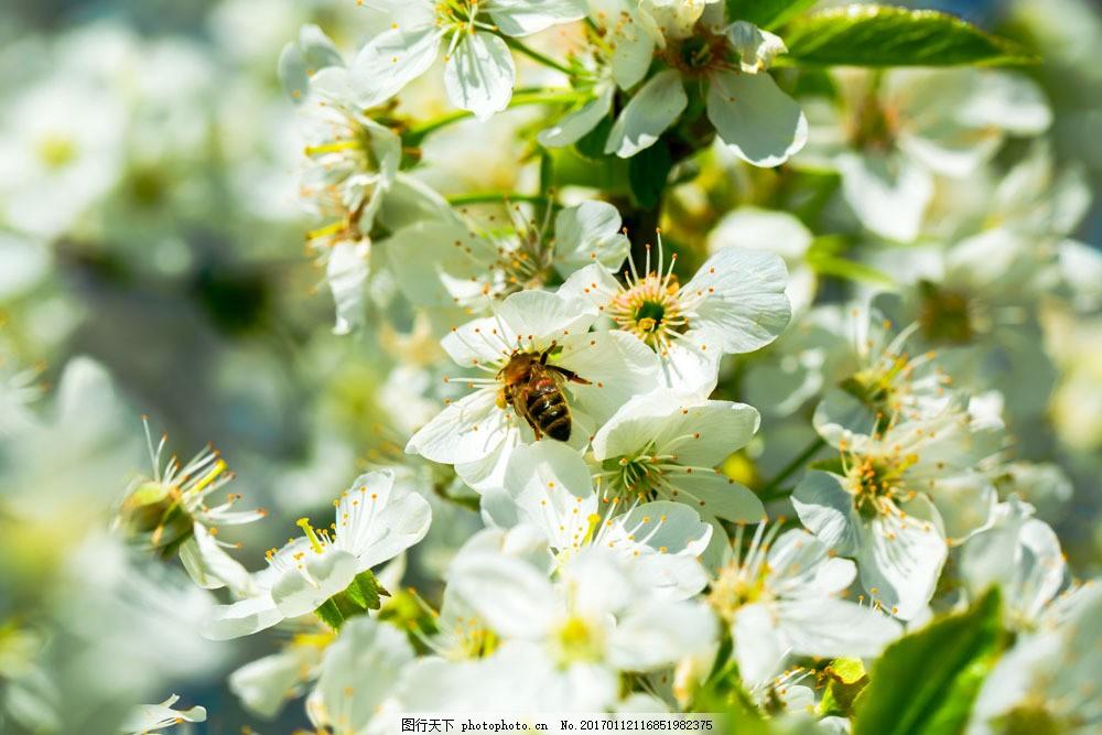 春天里德梨花 春天里德梨花图片素材 鲜花 花卉 植物 花草树木