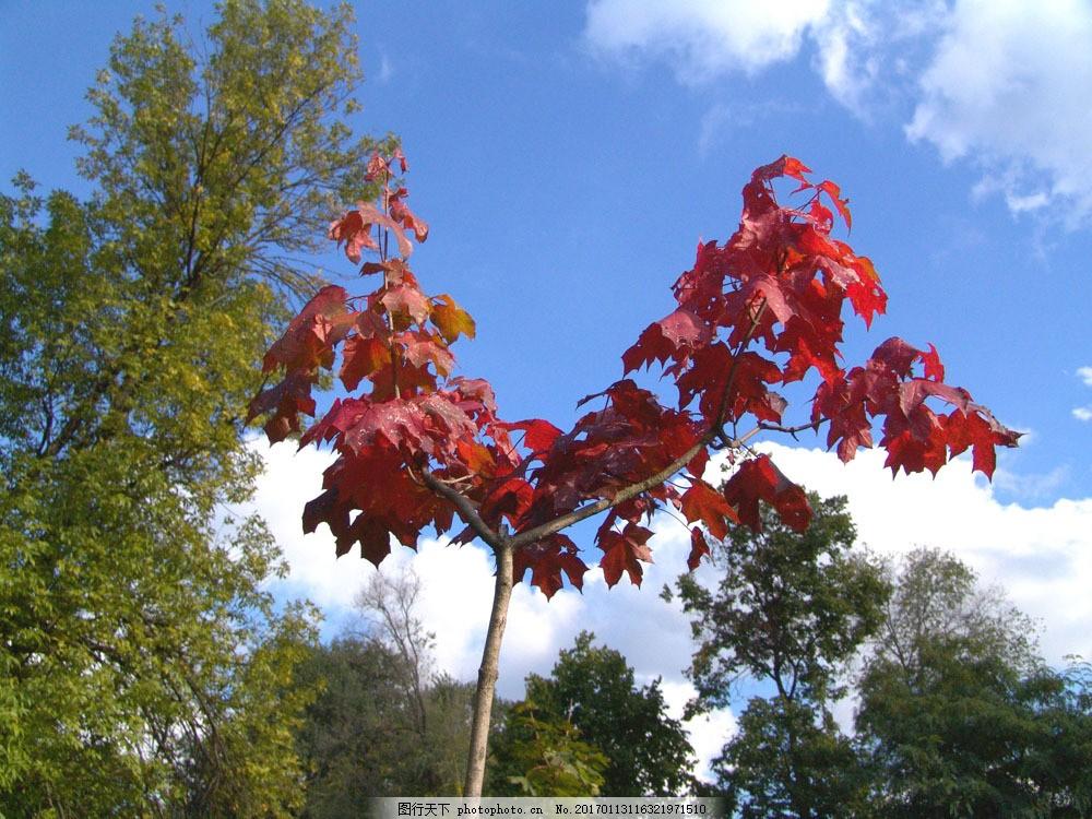 蓝天白云红叶树林图片素材 美丽枫树林 秋天枫叶 秋天树叶 秋季 枫叶
