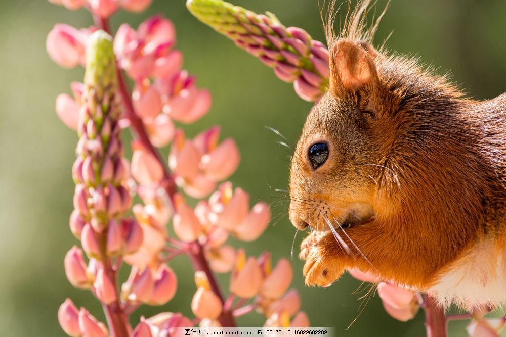 植物花朵与松鼠 植物花朵与松鼠图片素材 动物 野生动物 动物世界