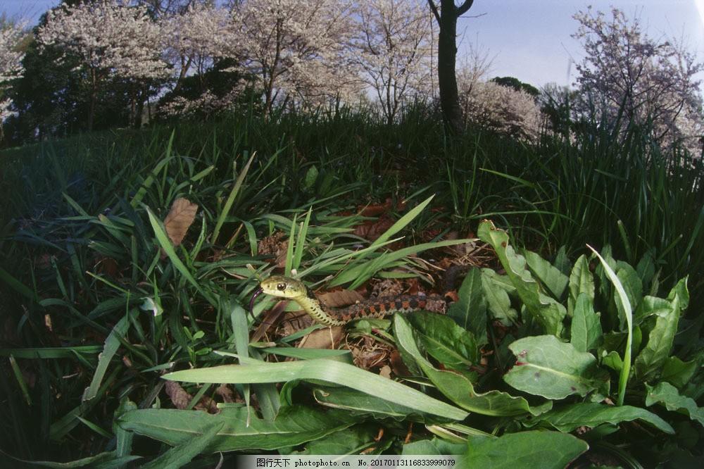 设计图库 高清素材 动植物  草丛里的蛇图片素材 蛇 草丛里的蛇 毒蛇