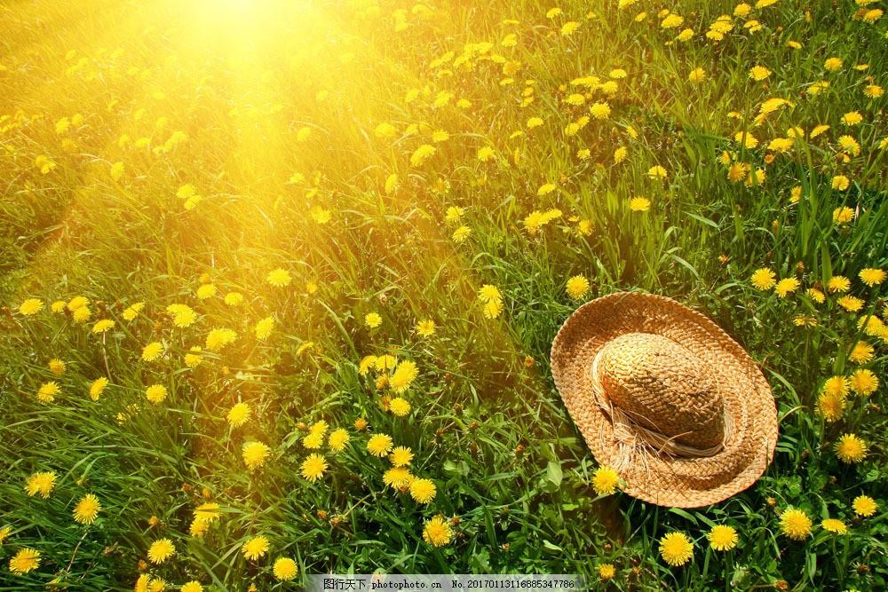 阳光下的蒲公英图片素材 植物 花草树木 鲜花 蒲公英 太阳 阳光 草帽
