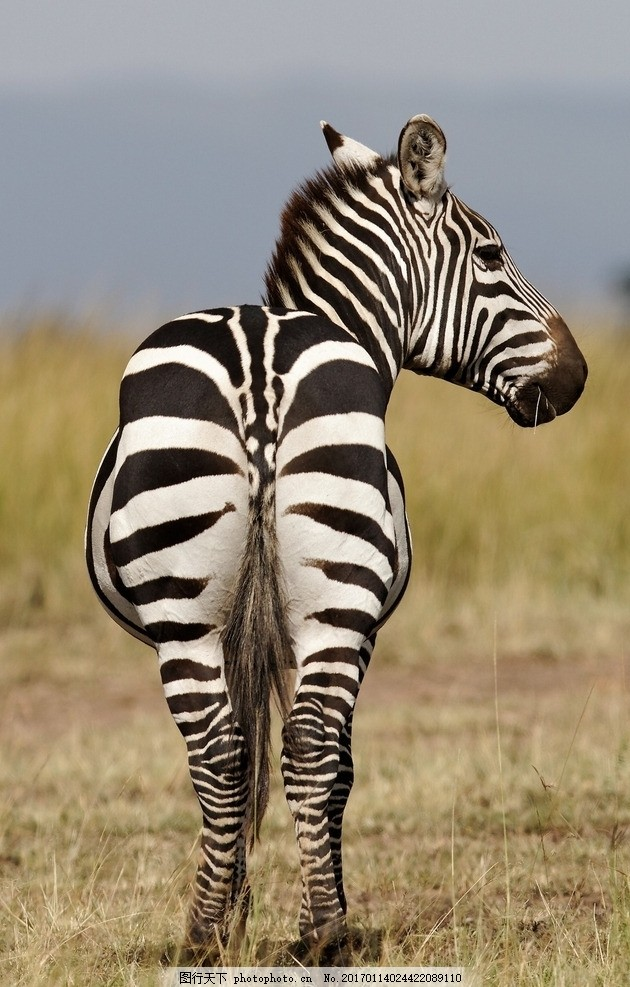 斑马 斑马纹 条纹 黑白条 马 摄影 生物世界 野生动物 72dpi jpg