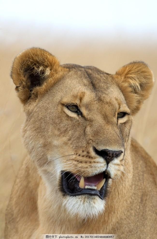 狮子 美洲狮 狮虎 狮 雄狮 狮子王 摄影 生物世界 野生动物 240dpi