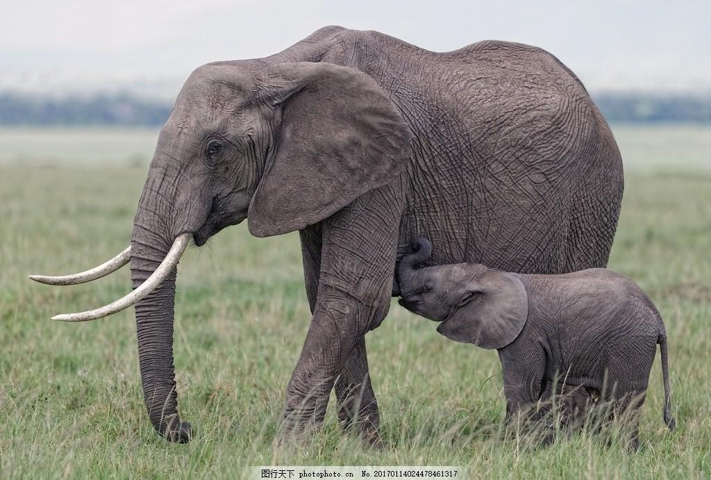 大象 象 亚洲象 非洲象 象群 野生 摄影 生物世界 野生动物 300dpi