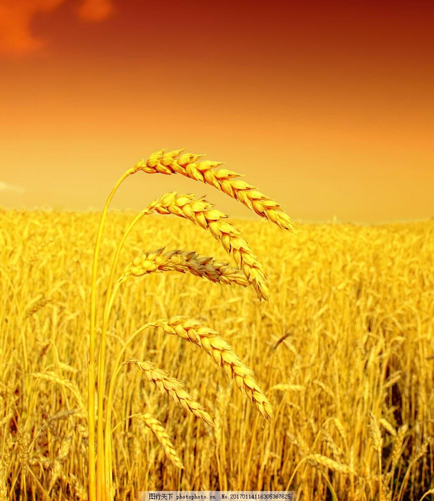稻田图片素材 自然风景 稻田 金黄 丰收 稻子 秋景 山水风景 风景图片